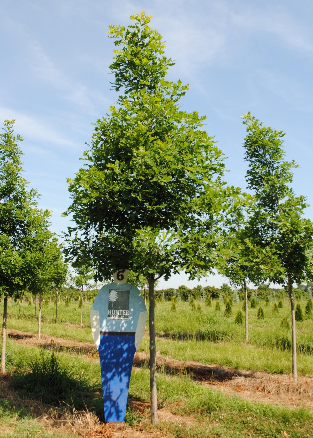 Overcup Oak : Hunter Trees