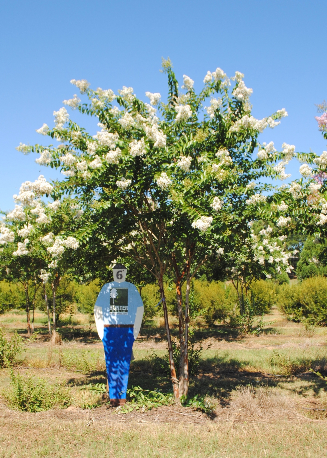 Natchez Crape Myrtle : Hunter Trees