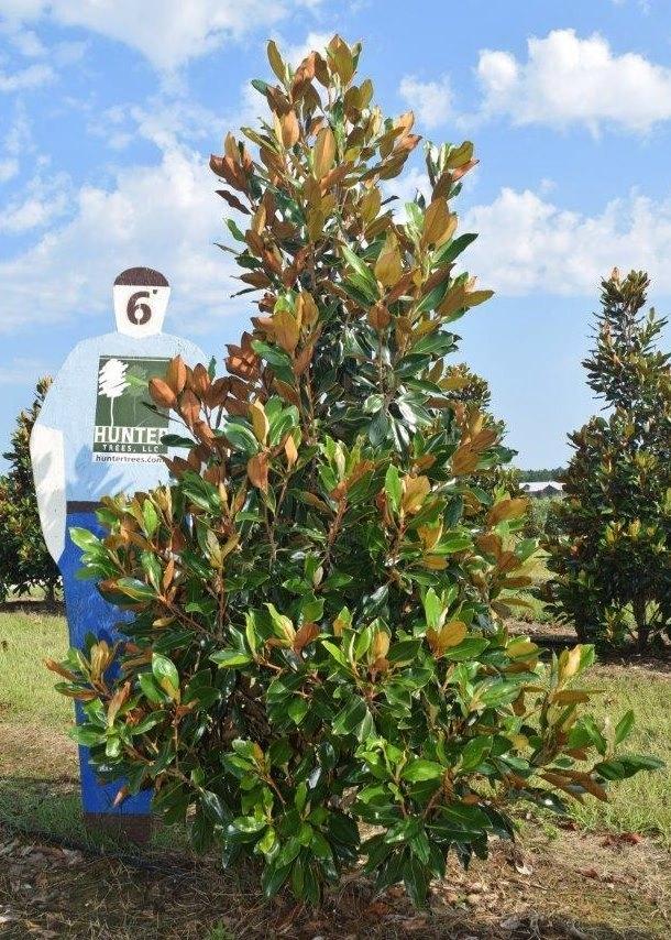 Little Gem Southern Magnolia Hunter Trees