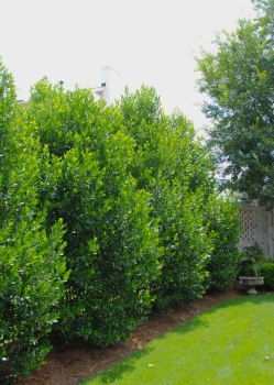 Hunter Cherry Laurel