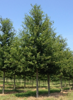 Avalyn® Laurel Oak